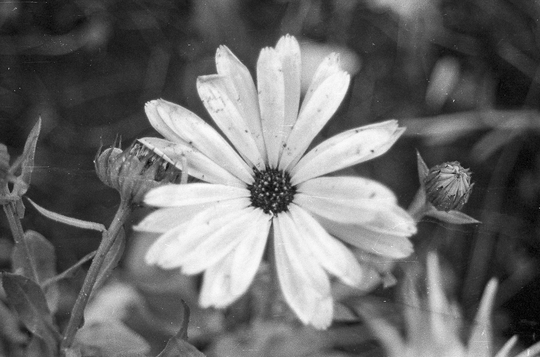 Flower in monochrome with speckles